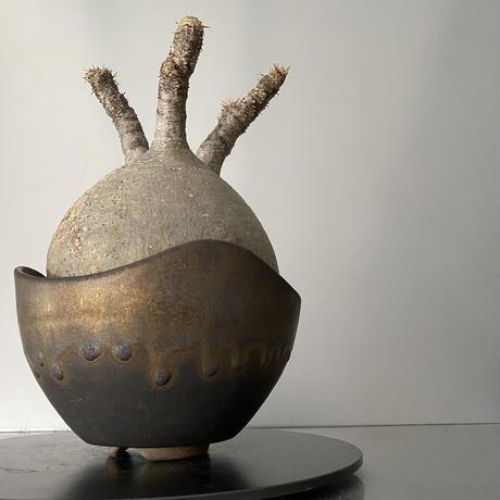 """発根済 中玉 グラキリス BG-190 × S.N.Pot """"丸""""- wave - 5号鉢 [作家  """"根本峻吾""""]"""