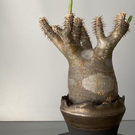 """発根済 グラキリス 現地株 BG-157 × S.N.Pot - crown - 3号鉢 [作家  """"根本峻吾""""]"""