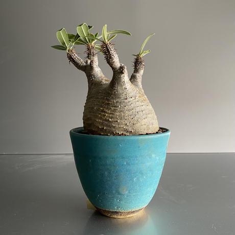 むっつり Gracilius  ×  Flat pot S「Turquoise blue」 - 笠間焼 - C90