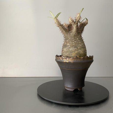 """発根済 グラキリス 現地株 BG-151 × S.N.Pot - crown - 4号鉢 [作家  """"根本峻吾""""]"""