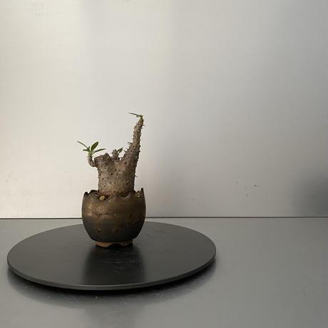 """発根済 超チビ マカイエンセ BG-163 × S.N.Pot """"丸""""- crown - 2号鉢 [作家  """"根本峻吾""""]"""
