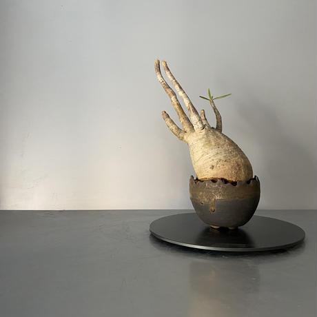 """発根済 グラキリス BG-218 × S.N.Pot """"丸""""- crown - 3号鉢 [作家  """"根本峻吾""""]"""