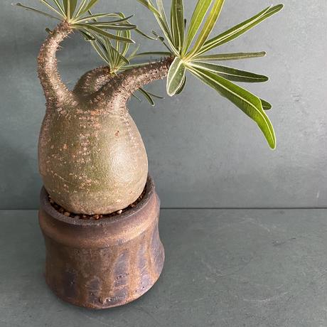 """発根済 グラキリス BG-240 × S.N.Pot """"土管"""" - horizon - 3号鉢 [作家  """"根本峻吾""""]"""