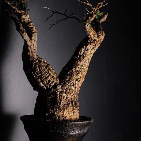 発根済 オペルクリカリア パキプス P-11  × 小野瀬 一 作品「the first plants wear」 7号 植木鉢