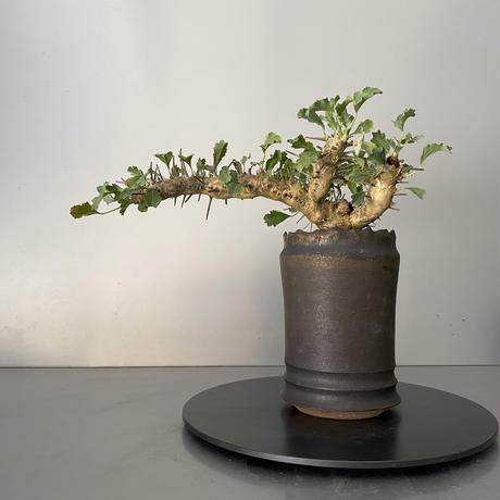 モンソニア サルコカウロン クラシカウレ 発根済 現地株 MS-02 × S.N.Pot - crown - 3号鉢