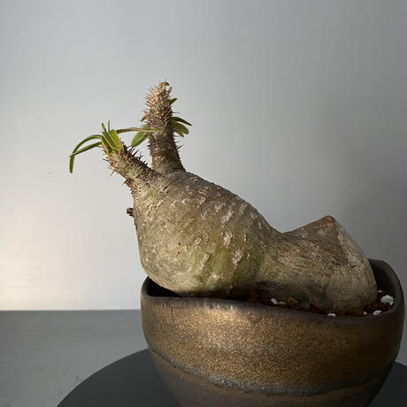 """発根済 蟻 グラキリス BG-220 × S.N.Pot """"丸""""- wave - 4号鉢 [作家  """"根本峻吾""""]"""