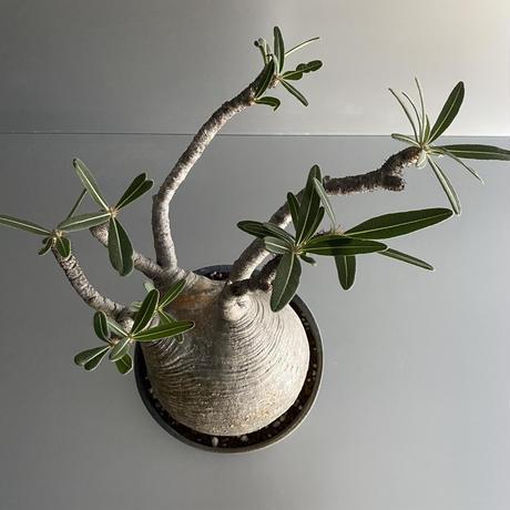 大ぶり[塊根部 15cm] 発根済 グラキリス × 浅鉢 Lサイズ「Ibushi Gin」- 笠間焼 - D05
