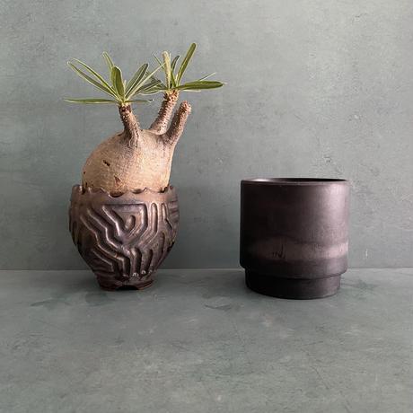 """発根済 グラキリス BG-236 × S.N.Pot """"鎬丸"""" - crown - 3号鉢 [作家  """"根本峻吾""""]"""