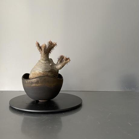 """発根済 奇形丸 グラキリス BG-181 × S.N.Pot """"丸""""- wave - 4号鉢 [作家  """"根本峻吾""""]"""