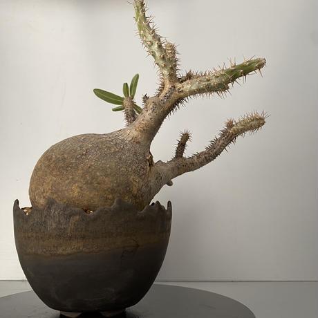 """発根済 グラキリス BG-199 × S.N.Pot """"丸""""- crown - 4号鉢 [作家  """"根本峻吾""""]"""