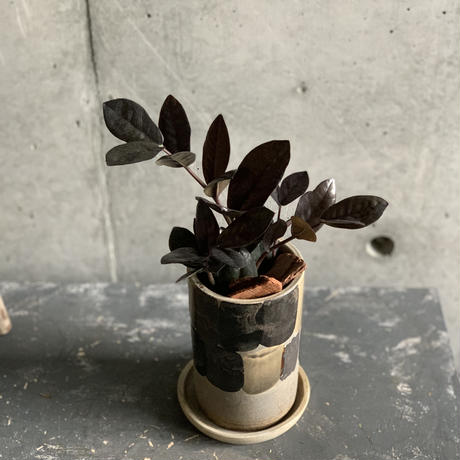 黒のザミア ザミオクルカス レイヴン(モダンブラック陶器)