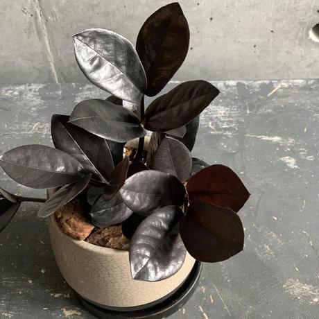 黒のザミア ザミオクルカス レイヴン(ベージュ陶器)