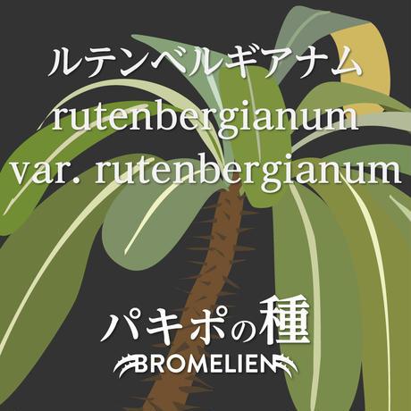 パキポディウムの種 ルテンベルギアナム rutenbergianum 20個