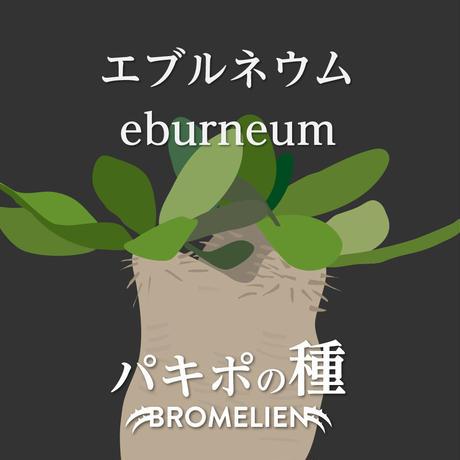 パキポディウムの種 エブレネウム eburneum 20個