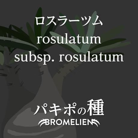 パキポディウムの種 ロスラーツム rosulatum 20個