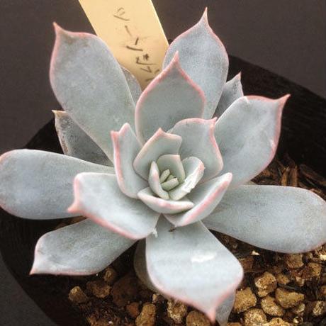 E.ツーソンブルー  Echeveria Tucson Blue  (061)