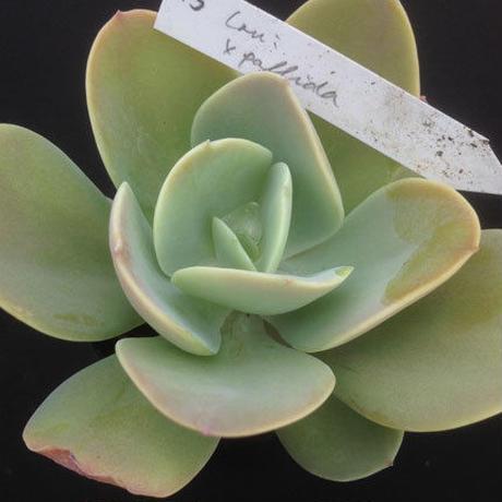 E.ラウイxパリダ  Echeveria laui x pallidaaparupa  (043)