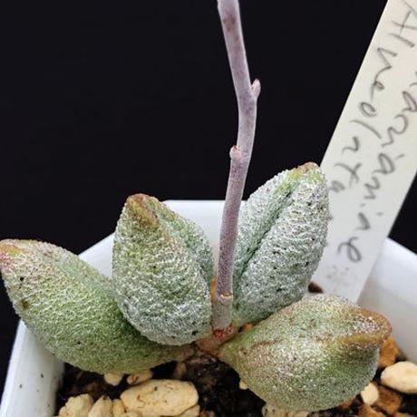 Adromischus mirianiae Alveolatus / 銀の卵 (04)