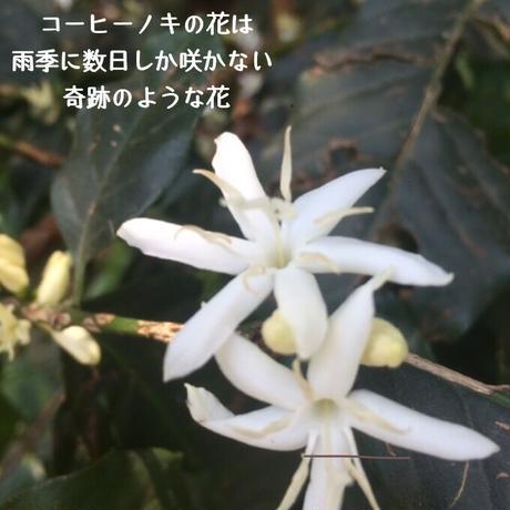 はちみつ(珈琲の花の開花時期)