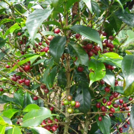コロンビアの森のコーヒー (200g、税込)【ポスト便、送料無料】