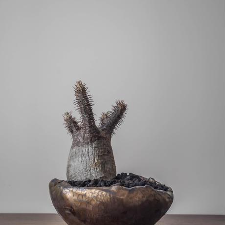 Pachypodium gracilius/パキポディウム グラキリス 象牙宮
