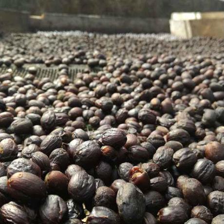 (生豆)コスタリカ ブルンカ地方チリポ山 リベンス ナチュラル 2019  1袋34.5kg