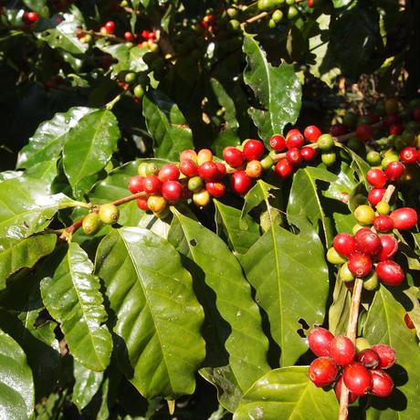 太陽とヒマラヤの恵み ハニープロセス珈琲 豆 ネパール産