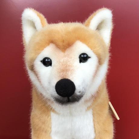 柴犬(大)