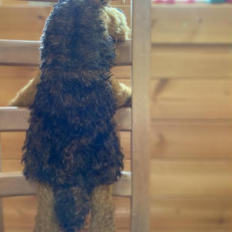 バーレーベンどうぶつ手人形 エアデールテリアのバルバロッサ