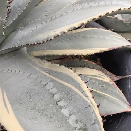 "Agave pygmaea ""Dragon Toes"" variegated  3"