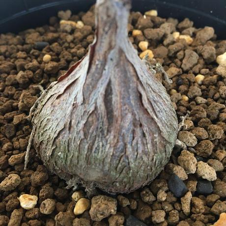 Petopentia natalensis  2