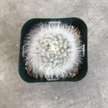 Mammillaria guelzowiana v. splendens