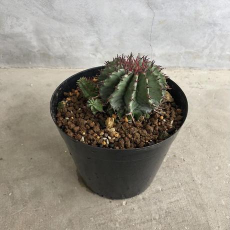Euphorbia horrida 1