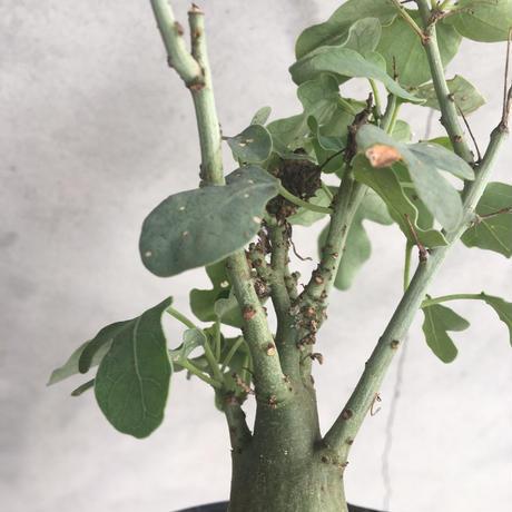Adenia  spinosa 3