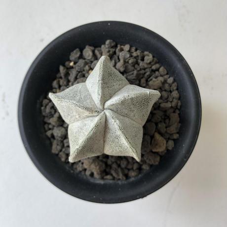 Astrophytum coahuilens