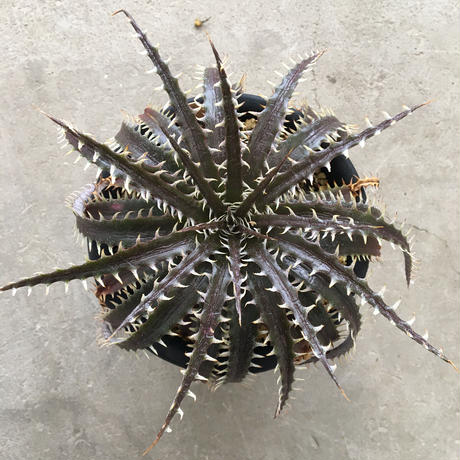 Dyckia  4th of july Series #202
