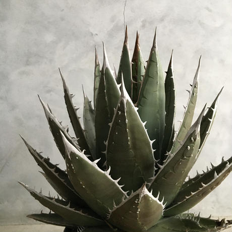 Agave ghiesbreghtii(purpusorum Type)