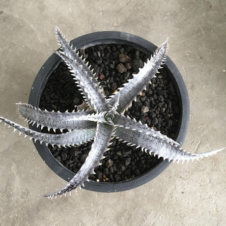 Dyckia 'Black Ice' 2