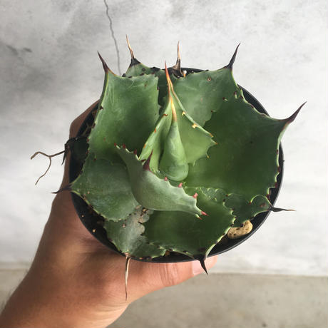 Agave SP. magnifica 1