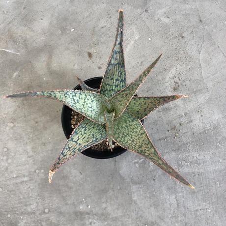 Aloe hybrid (A.vito x A. sunricedrian ) 2