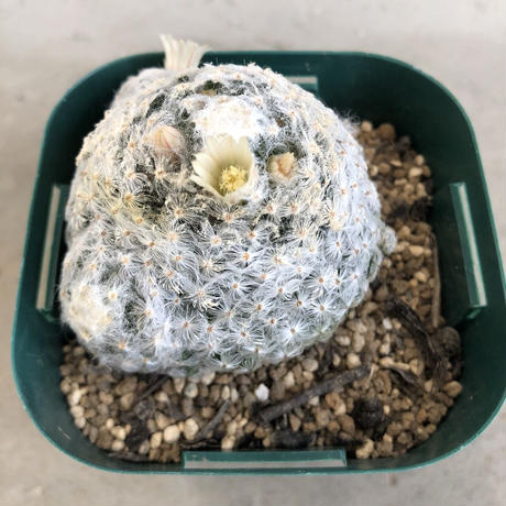 Mammillaria schiedeana 1