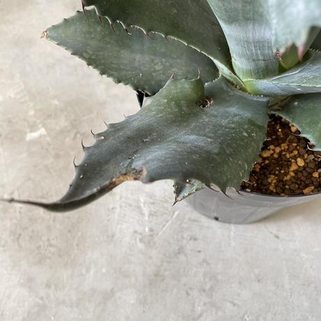 Agave atrovirens Var. sigmatophylla