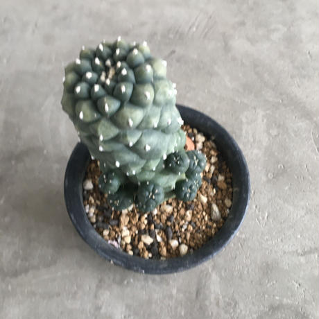Lophophora williamsii (有刺)