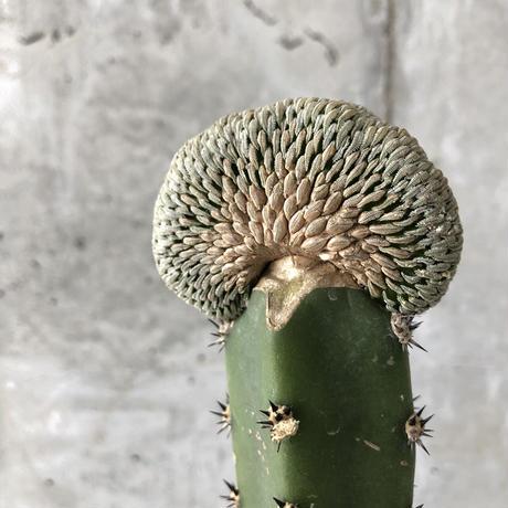 Pelecyphora aselliformis f. crist.