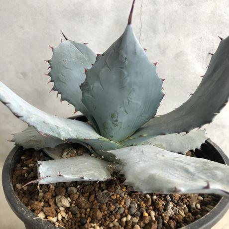 Agave shrevei ssp. matapensis 2
