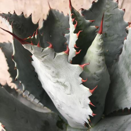Agave potatorum Hybrid 'KG Special'