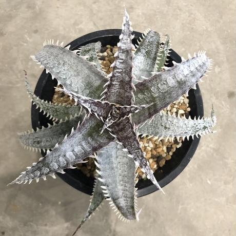 Dyckia 'H&H'×marnier- lapostollei (wide leaf)