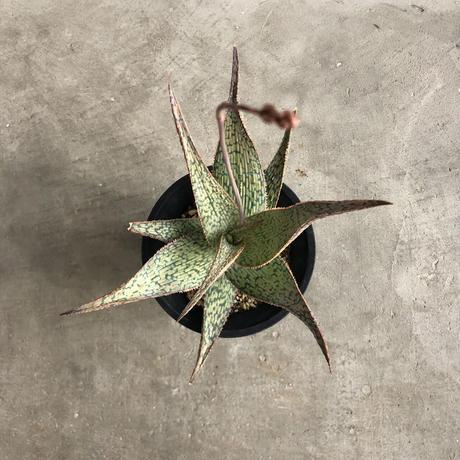 Aloe hybrid (A.vito x A. sunricedrian ) 1