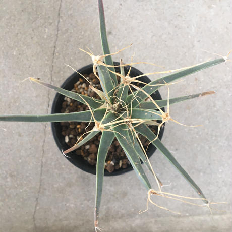 Leuchtenbergia principis 4