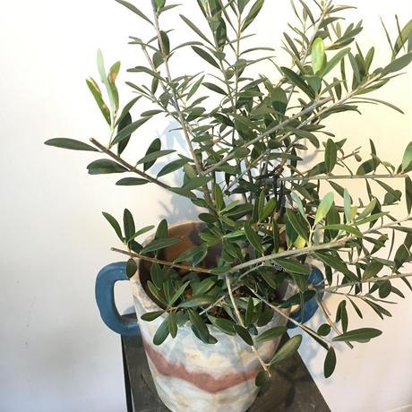 オリーブの木・鉢カバー付き